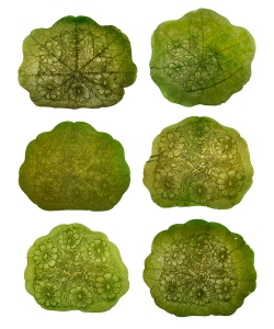 Transplant: Islet of Langerhans grid of 6. 2012, chlorophyll prints from hand-drawn negatives on nasturtium leaves.